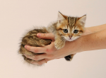 Munchkin Female Kitten Golden Tabby - Munchkin Kitten For Sale - Portland, OR, US