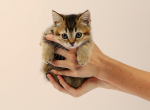 Rare Gold Chinchilla Munchkin Female Kitten - Munchkin Kitten For Sale - Portland, OR, US