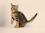 Scottish Straight Male Kitten Golden Tabby - Scottish Straight Kitten For Sale - Portland, OR, US