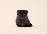 RARE Munchkin Scottish Fold Male Scottish Kilt - Scottish Fold Kitten For Sale - Portland, OR, US
