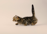 Munchkin Female Kitten Golden Dark Tabby - Munchkin Kitten For Sale - Portland, OR, US
