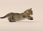Munchkin Female Kitten Spotted Ticked Tabby - Munchkin Kitten For Sale - Portland, OR, US