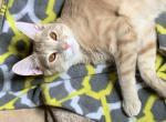 Honeybun - Domestic Cat For Adoption - Fort Worth, TX, US