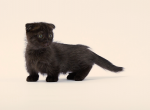 Munchkin Scottish Fold Male Scottish Kilt - Munchkin Kitten For Adoption - Portland, OR, US