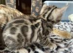 Bengals All kittens are reserved as of today - Bengal Kitten For Sale - Maple Valley, WA, US
