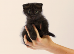 MUNCHKIN SCOTTISH FOLD BLACK MALE KITTEN - Munchkin Kitten For Sale - Portland, OR, US