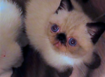 Special The Seal Point Boy - Exotic Kitten For Sale - Point Washington, FL, US