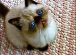 Special The Seal Point Boy - Exotic Kitten For Sale -
