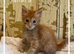 Sahara - Maine Coon Kitten For Sale - Ava, MO, US