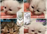 Au Lait X Beast - Persian Kitten For Sale -