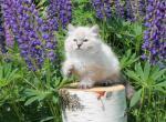 Thais - Siberian Kitten For Sale - Miami, FL, US