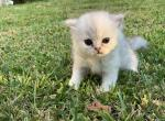 Praline Au Lait X BEAST - Persian Kitten For Sale -