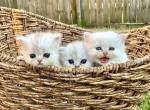 Magnolia Beauty and the Beast - Persian Kitten For Sale - New Orleans, LA, US