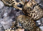 Bengal Kittens Clouded Print Large rosettes - Bengal Kitten For Sale -