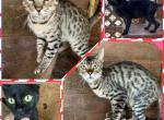 Bengals - Bengal Cat For Sale/Service - FL, US