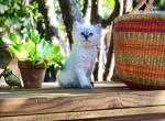 Ronald - Ragdoll Kitten For Sale - Sedona, AZ, US