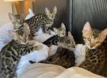 Exotic bengal kittens with perfect pattern - Bengal Kitten For Sale -