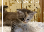 Cinderella - Maine Coon Kitten For Sale - Ava, MO, US