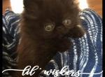 Black Smoke Persian Kitten - Persian Kitten For Sale - KY, US