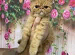 Vitas - Exotic Kitten For Sale - Hollywood, FL, US