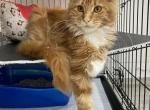 Asti - Maine Coon Kitten For Sale - Hollywood, FL, US