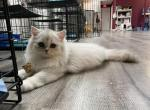 Unikum - British Shorthair Kitten For Sale - Miami, FL, US