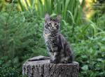 Jessica - Maine Coon Kitten For Sale -