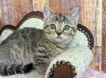Chloe - Munchkin Kitten For Sale -