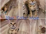 Blue collar male - Bengal Kitten For Sale - Bangor, MI, US