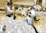TCA Registered Siamese Kittens - Siamese Kitten For Sale - Greenville, SC, US