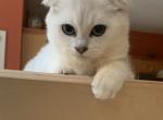 Scottish Fold female Green Eyes - Scottish Fold Kitten For Sale - Bayville, NJ, US