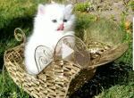Gorgeous dollface Persian White male - Persian Kitten For Sale - San Jose, CA, US