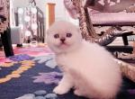 Eden - Scottish Fold Cat For Sale - Charlottesville, VA, US