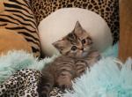 Mini Golden tabby British - British Shorthair Kitten For Sale -