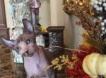 Little man - Sphynx Kitten For Sale -