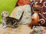 Baron - Scottish Fold Kitten For Sale - Hollywood, FL, US