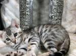 Blue - Bengal Kitten For Sale - Del Rio, TX, US