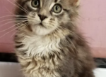 Blue with White Girl - Maine Coon Kitten For Sale - MA, US