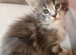 Blue With White Boy - Maine Coon Kitten For Sale - MA, US