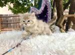 Soren - Ragdoll Kitten For Sale - Sedona, AZ, US