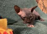 Violet RESERVED - Sphynx Kitten For Sale -