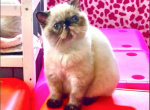 Tahitian Pearl - Exotic Kitten For Sale -