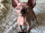 Lucky - Sphynx Kitten For Sale - Oklahoma City, OK, US