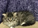 Maya - Minuet Kitten For Sale -