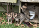 4 male kittens - Bengal Kitten For Sale - St. Louis, MO, US