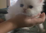 Solid white with baby blue and Heterochromatic eye - Persian Kitten For Sale - Cannon Beach, OR, US