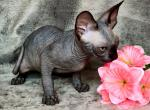 Tisson - Sphynx Kitten For Sale - Hollywood, FL, US