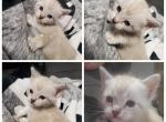 Kitten - Highlander Kitten For Sale - Monroe, MI, US