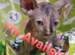 Sphynx Kitties - Sphynx Kitten For Sale - Aliquippa, PA, US