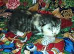 Daisy diamond female tortoiseshell kitten - Persian Kitten For Sale - Montgomery, TX, US